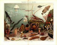 Lithografie Pilzblumen Orig 1898 mushroom stinkmorchel gitterling clathrus rare
