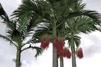 Lange, gleichmässige, tief-grüne Palmblätter - das ist die tolle Alexander-Palme