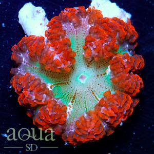 ASD - 133 Red Velvet Rock Nem - WYSIWYG Aqua SD Live Coral Frag