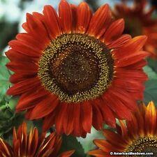 Sunflower- Red Sun- 100 Seeds-     50 % off sale