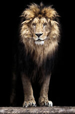 Bilder Wandbild Keilrahmen Leinwand Kunstdruck Tiere Löwe Afrika  Art. 609951