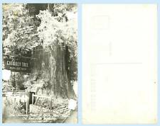 Chimney Tree Gift Shop Redwood Highway Glen Ct California RPPC Real Photo Card