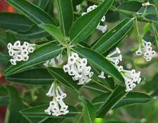 Cestrum diurnum White Chocolate Jasmine 6 seeds