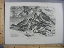 Rare Antique Original VTG Group Of Buntings Birds Avian Illustration Art Print