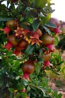 Russian Giant Pomegranate Fruit Tree Live bareroot Plant 12 to 18 inches tall