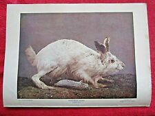 1899 ANTIQUE NORTHERN HARE / RABBIT LITHOGRAPH PRINT
