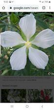 25 White TEXAS STAR HIBISCUS Flower Seeds. 2020 Crop