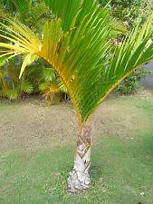 Hyophorbe verschaffeltii - Spindelpalme - 10 Samen - Palmen Samen