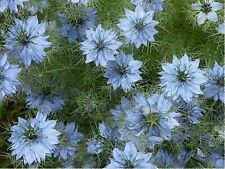 Love In A Mist- Blue - Nigella- 100 Seeds - - BOGO 50% off SALE