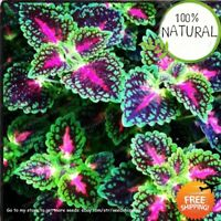 Janpanse Bonsai Coleus Seeds Plants Foliage Perfect Rainbow Dragon Color 100pcs