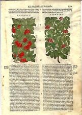 Stampa antica ERBARIO MATTIOLI MATTHIOLI FRUTTA CORNIOLO 1580 Old antique print