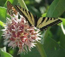 Asclepias speciosa - Showy Milkweed - 50 Fresh Seeds