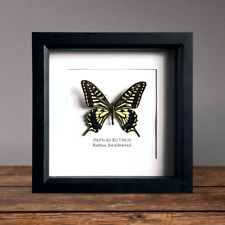 Papilio blumei Real Butterfly  X1 specimen A1 Entomology Indonesia Artwork