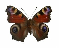 Real Aglais io, Peacock butterfly Sustainably Sourced! A1, unmounted