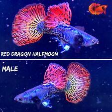 1 Trio - Red Dragon Halfmoon Guppy Live Aquarium Guppy Fish Quality Top Grade A+