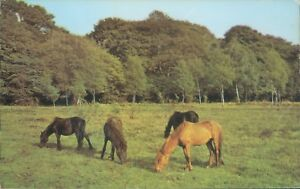 New forest ponies 3 horses 1971