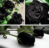 10 graines de Rosier rose NOIR - 10x BLACK Rose rosebush seeds
