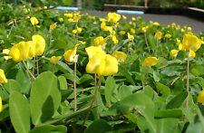 5 PERENNIAL PEANUT Pinto Ground Cover Yellow Flower Arachis Pintoi Legume Seeds