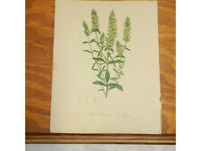 1838 Antique Floral COLOR Print/SIDERITIS SCORDIOIDES/SCOLLOP-LEAVED IRONWORT