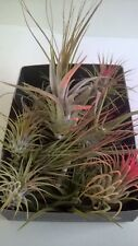 2 x Air Plants - Tillandsia  House Plants