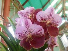 Vanda sanderiana species Orchid Plant