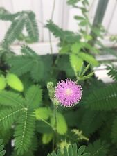 Mimosa Pudica- Sensitive Vine- 1 Live Plant- Leaves Move!