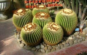 50 Semillas De Cactus Asiento De Suegra, Echinocactus Grussoni