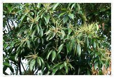 Lithocarpus edulis  ( 3 seeds/graines )