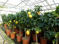 grünwaren: echter Zitronenbaum 70 - 100 cm Zitrone Citrus Limon Zitruspflanze