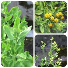 Marienblatt Tanacetum balsamita Balsamkraut Bibelblatt Frauenminze Heilpflanze