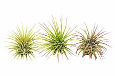 3 Ionantha Guatemala Air Plants / FREE Care Guide / Blooms