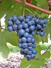 blaue Traube Solara, feinfruchtige Tafel und Saft Traube, kernarm, pilzfest