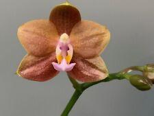 Phalaenopsis Mituo Champion King ! Orchidee Naturform !