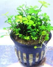 New listing Marsilea Quadrifolia, Four Leaf Clover Potted freshwater aquarium plant (Buy 2,