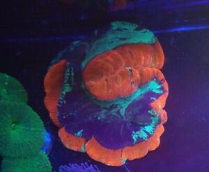 WYSIWYG XXL INDO WELLSO TRACHYPHYLLIA LIVE CORAL, FRAGS, SALTWATER, LPS
