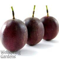 Purple Possum Passiflora edulis Passion Fruit Flower Vine LIVE PLANT Butterfly