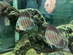 "Blue Turks Turqs Discus Tropical Fish Beautiful Discusmodo Colour 3"""
