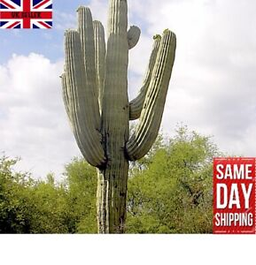 Saguaro Giant Cactus (Carnegiea Gigantea) x 20 FRESH Seeds. Same Day Dispatch