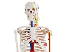 Human Skeleton with Nerves & Blood Vessels - Anatomy Model
