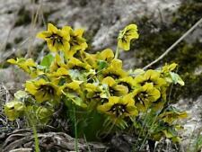 Mandragora caulescens, RARE Himalayan Mandrake, 5 seeds