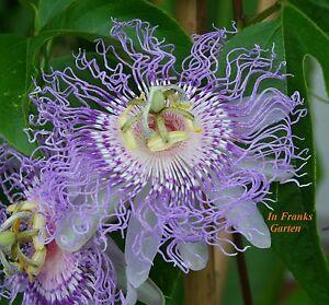 Passiflora incarnata, Passionsblume, essbare Früchte, winterhart, Blume, 5 Samen