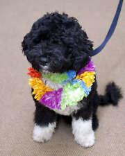 FIRST DOG BO OBAMA 8X10 PHOTO PRESIDENT BARACK OBAMA