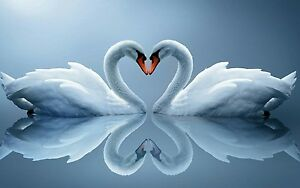 Love Heart Swans - Duck Egg Blue Animal Landscape Large Canvas Picture 20x30Inch