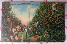 Vintage Postcard Picking Oranges Scene in Orange Grove Near N. Orleans, LA
