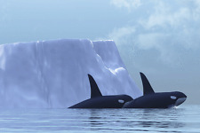"Orcas- Killer Whales - Wildlife Animals Photo Art - Canvas Giclee Print 24"" x36"""