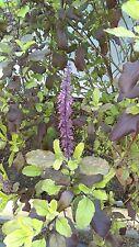 Tulsi, Krishna Tulsi, Ocimum Sanctum, Organic, 30 seeds Per pack, Holy Basil