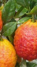 Pianta di limone ROSSO in fitocella (foto reali) altezza cm 160 con frutti