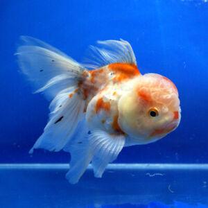 live goldfish fancy beautiful fish oranda lion head 5color aquarium Premium
