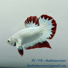 Live Betta Fish Plakad Red Dragon SNOW HMPK Ship from THAILAND M size NAM110101