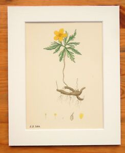 Yellow Wood Anemone - Sowerby - Mounted Antique Hand Coloured Botanical Print 12